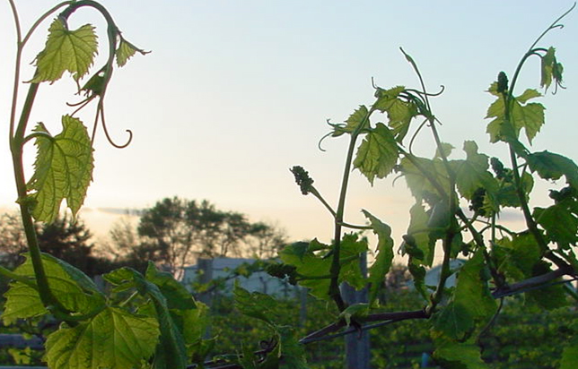 photo of grape vines